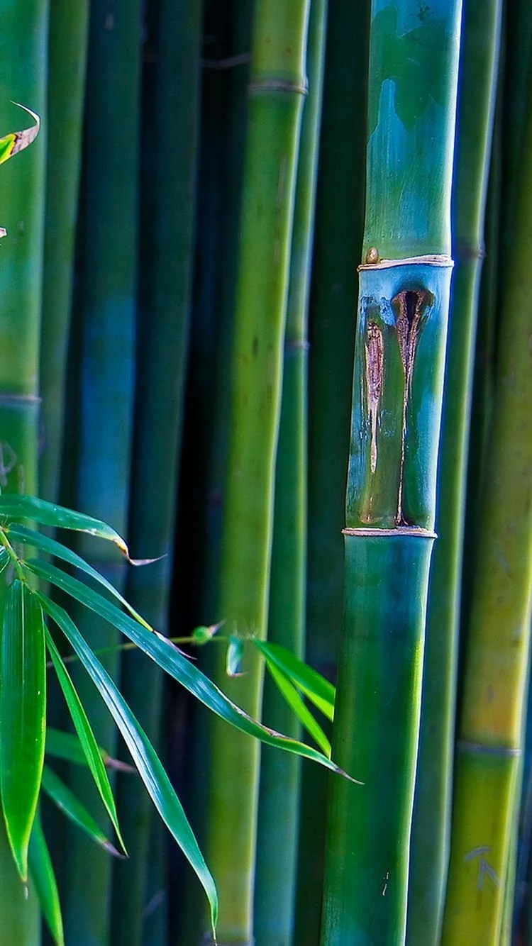 Bamboo Wallpaper Hd : bamboo, wallpaper, Bamboo, IPhone, Wallpapers, Backgrounds, WallpaperAccess