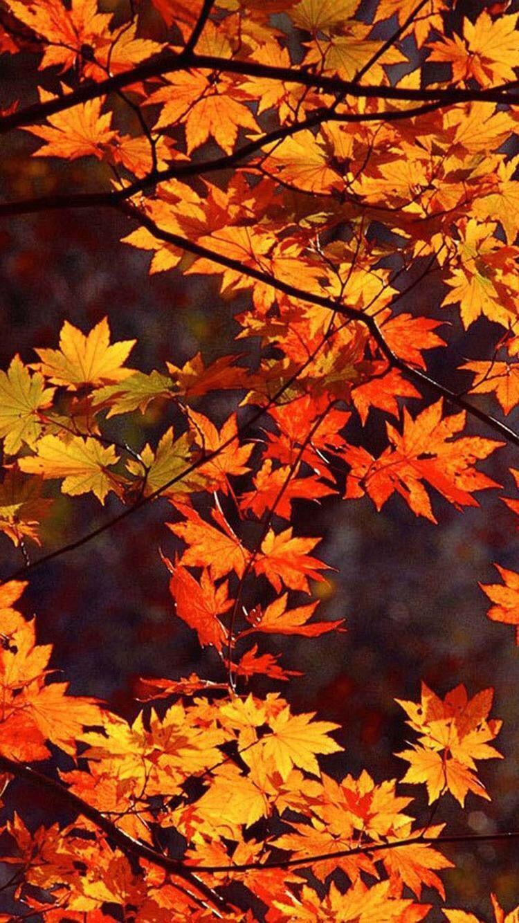 Android Autumn Wallpaper : android, autumn, wallpaper, Autumn, Phone, Wallpapers, Backgrounds, WallpaperAccess