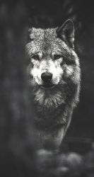 Lone Wolf iPhone Wallpapers Top Free Lone Wolf iPhone Backgrounds WallpaperAccess