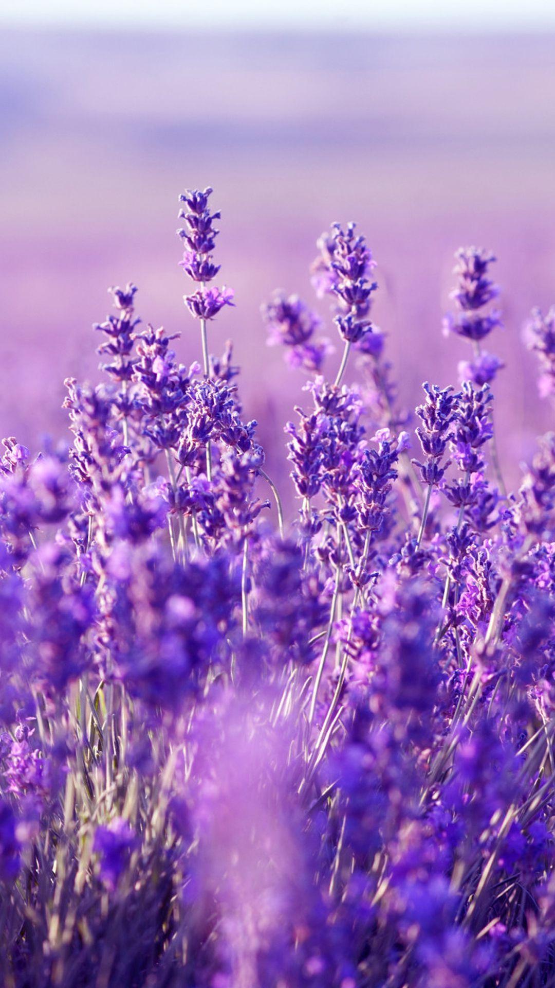 Lavender Flower Background : lavender, flower, background, Lavender, Flower, Wallpapers, Backgrounds, WallpaperAccess
