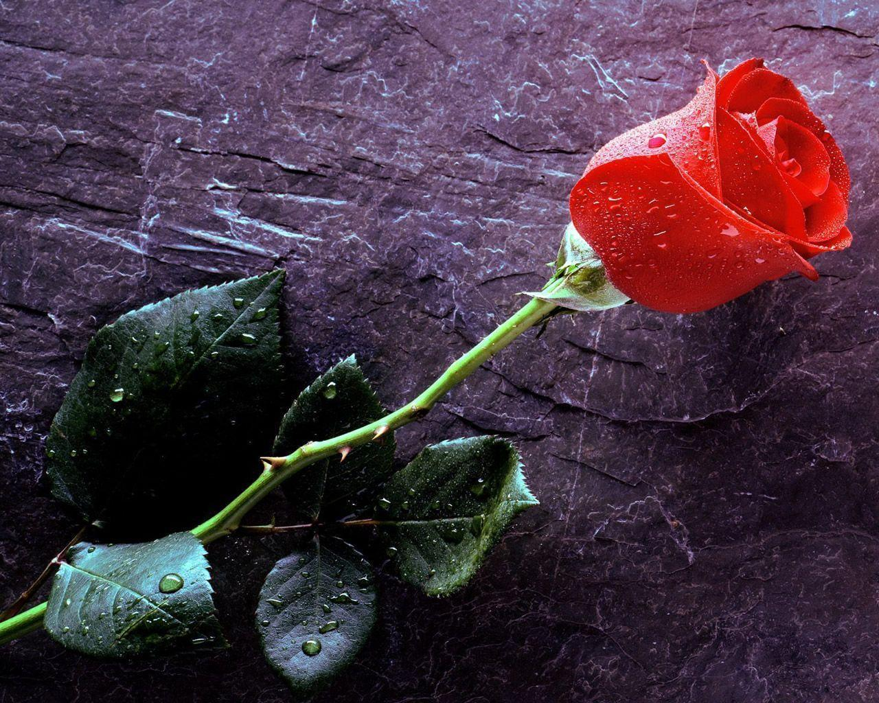 wallpapers rose flower wallpaper