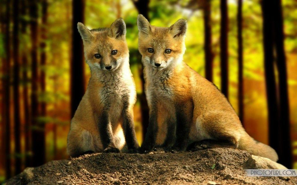 Cute Rabbits Hd Wallpapers Red Fox Wallpapers Wallpaper Cave