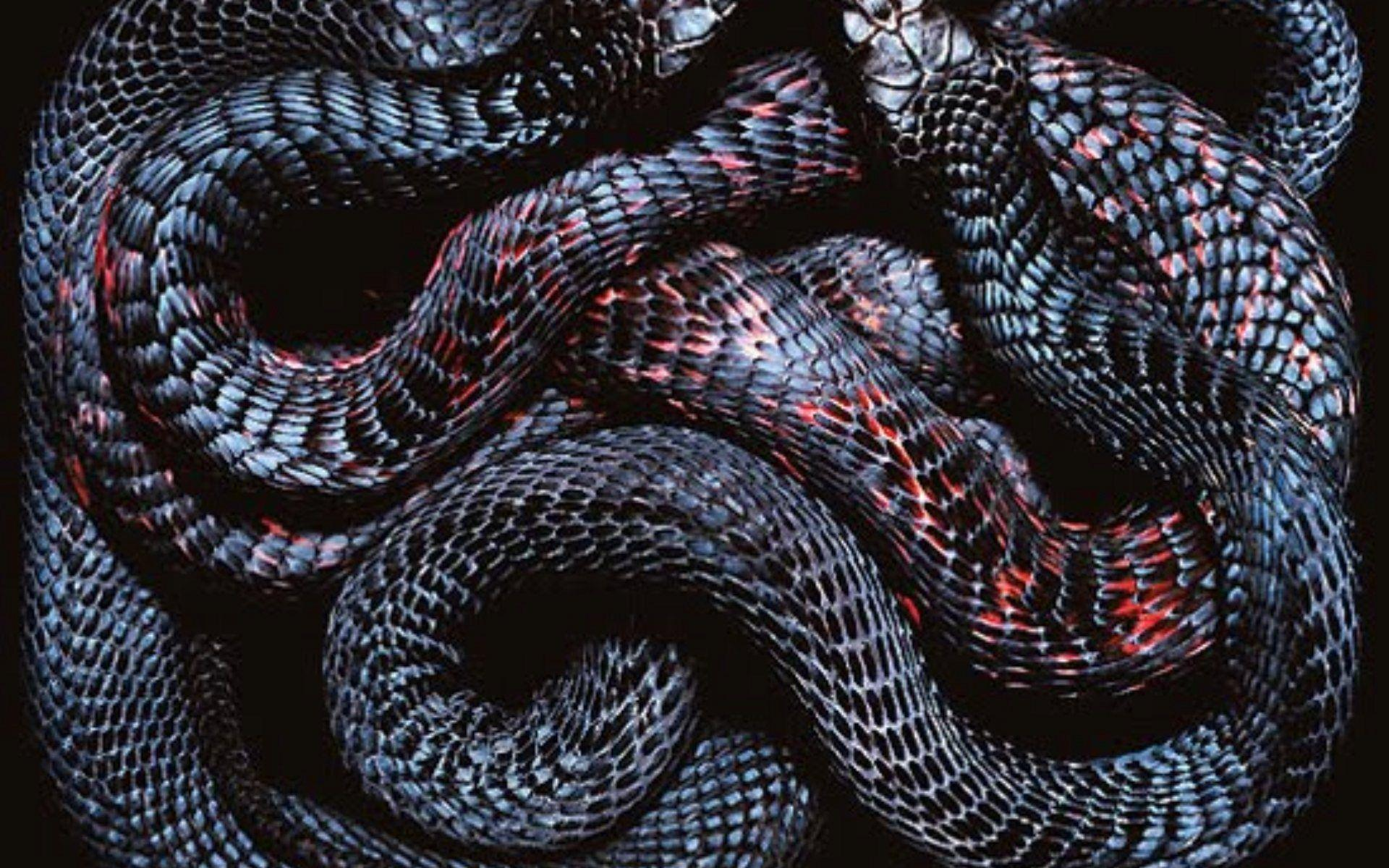 3d King Cobra Snake Wallpaper Snakes Wallpapers Wallpaper Cave