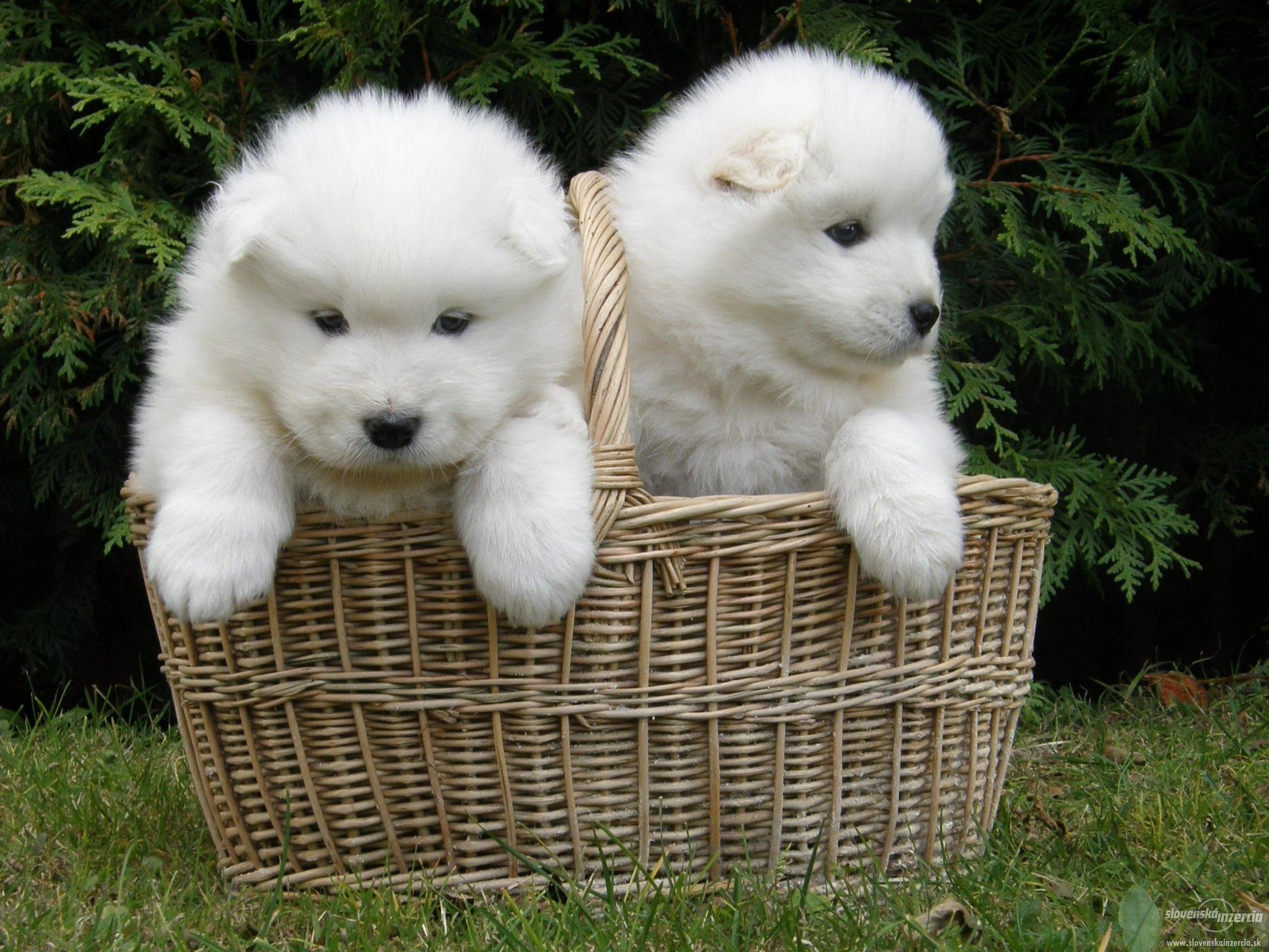 Cute Puppy Images Wallpaper Fluffy Samoyed Wallpapers Wallpaper Cave