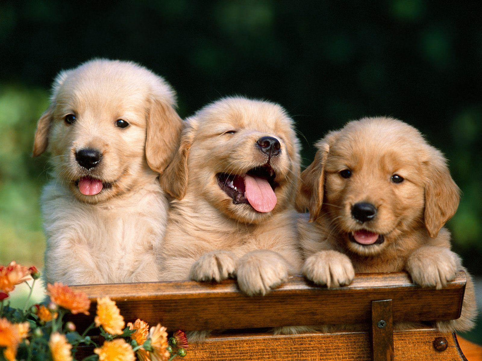 golden retriever wallpapers wallpaper