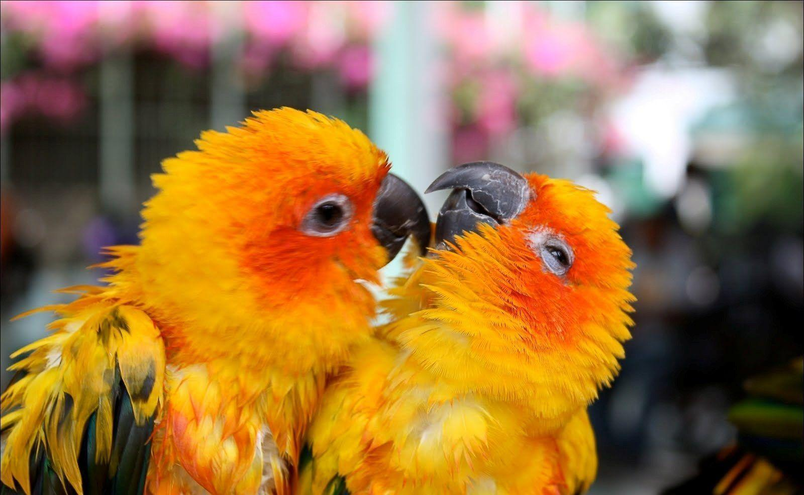 love bird wallpapers wallpaper