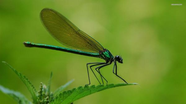 Free Dragonfly Wallpaper Downloads