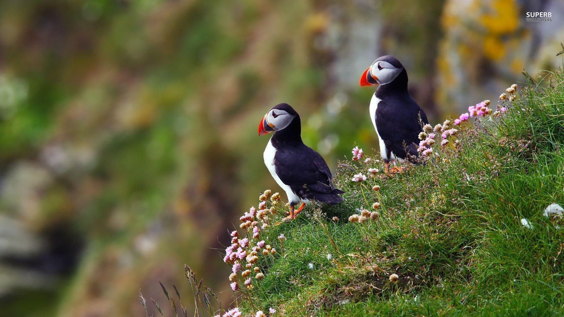 Puffin Wallpapers Wallpaper Cave