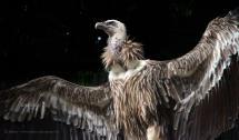 Vulture Wallpapers - Wallpaper Cave