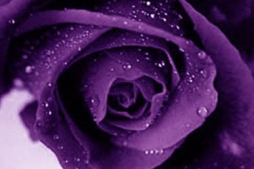 purple roses wallpapers wallpaper