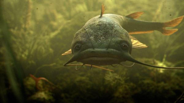 20 Flathead Catfish Art Pictures And Ideas On Meta Networks