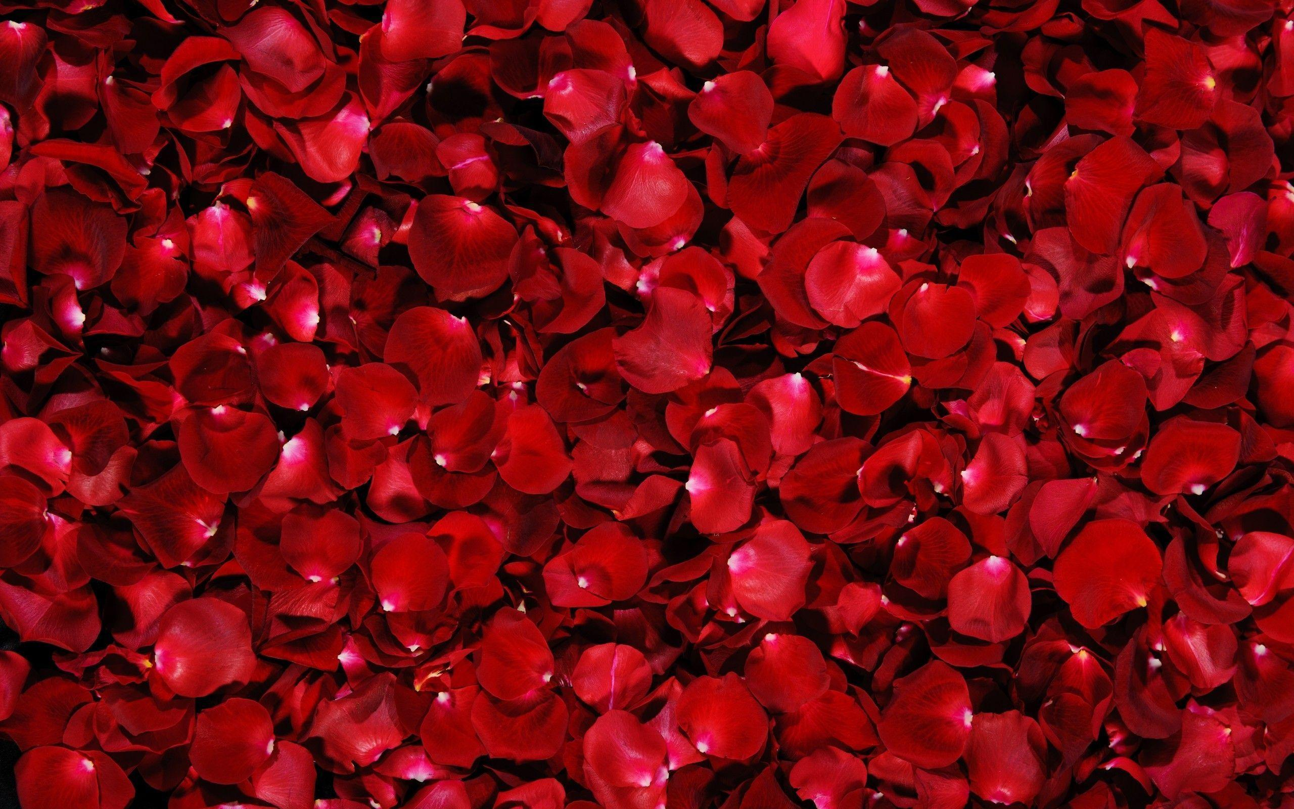red roses backgrounds wallpaper