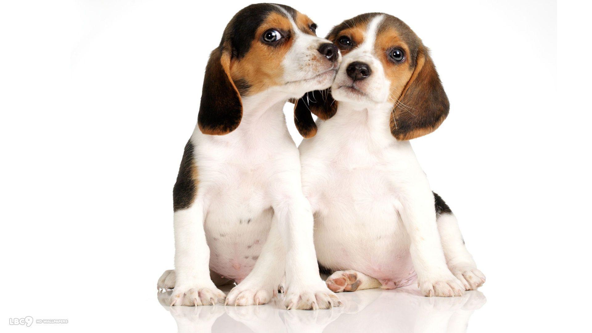 Cute Beagle Puppy Wallpaper Beagle Wallpapers Wallpaper Cave