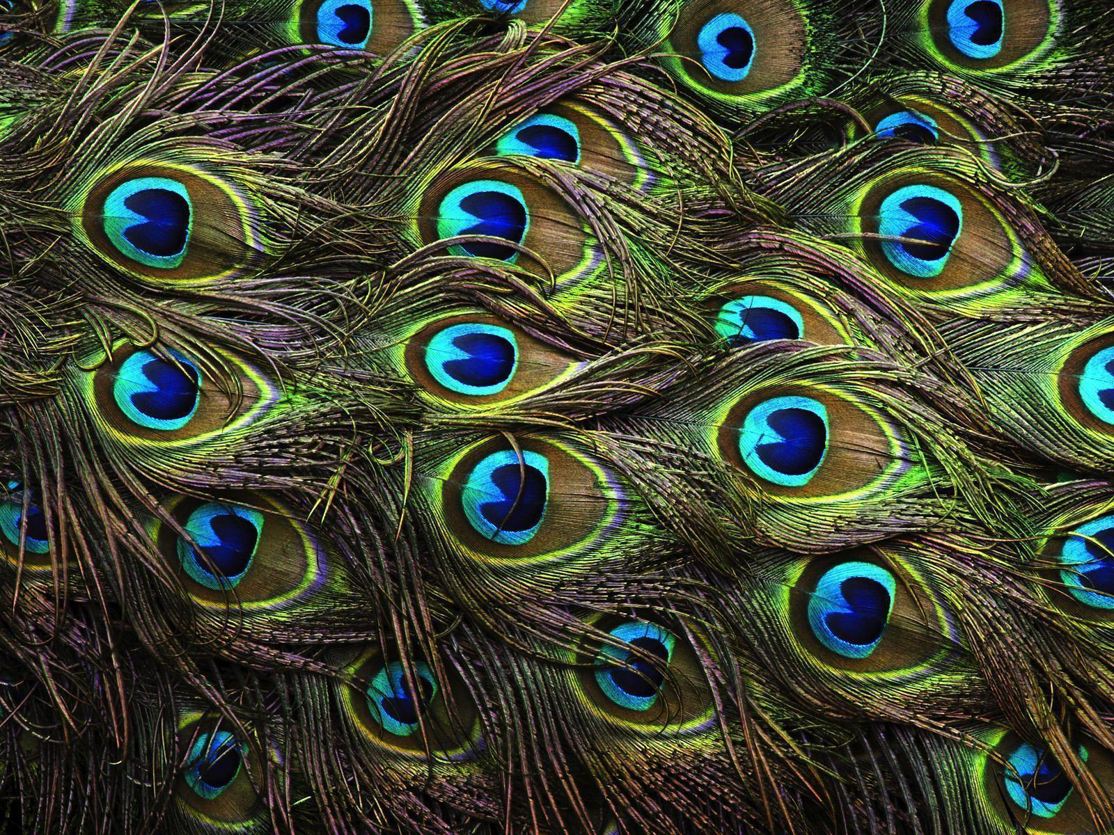 Peacock Desktop Wallpapers  Wallpaper Cave