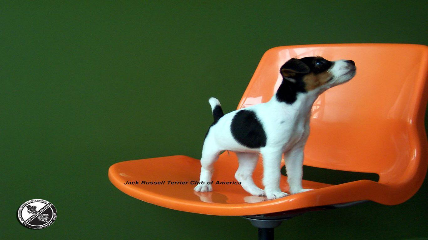 Wrestling Wallpaper Quotes Jack Russell Terrier Wallpapers Wallpaper Cave