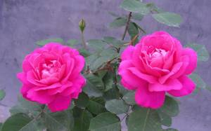 rose flower wallpapers flowers nature