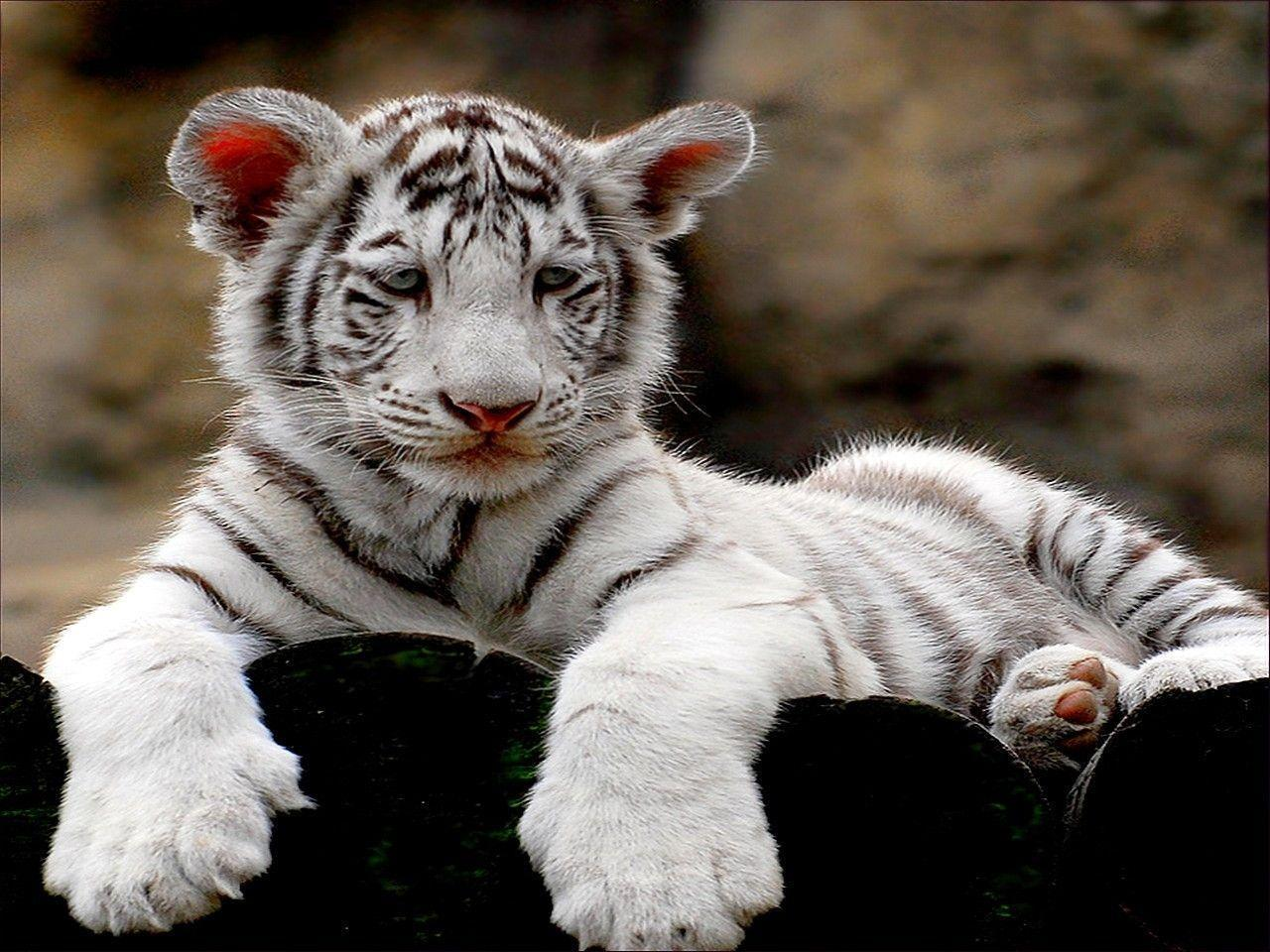 Cute Twins Baby Hd Wallpaper White Tiger Cub Wallpapers Wallpaper Cave