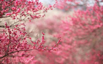 pink nature wallpapers hd desktop spring cherry blossoms background pc pretty beauty nice natural blossom 1080p things cave most