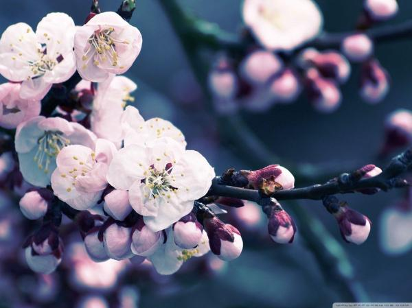 Cherry Blossom Backgrounds - Wallpaper Cave