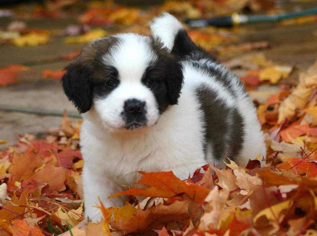 Cute Saint Bernard Puppies Wallpaper St Bernard Wallpapers Wallpaper Cave