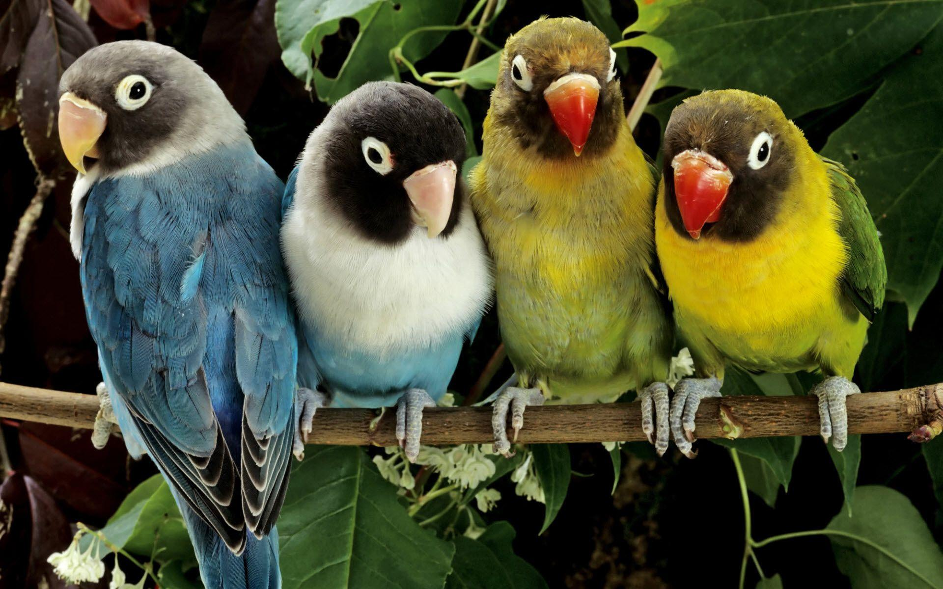 ✓ Download Gambar Lovebird