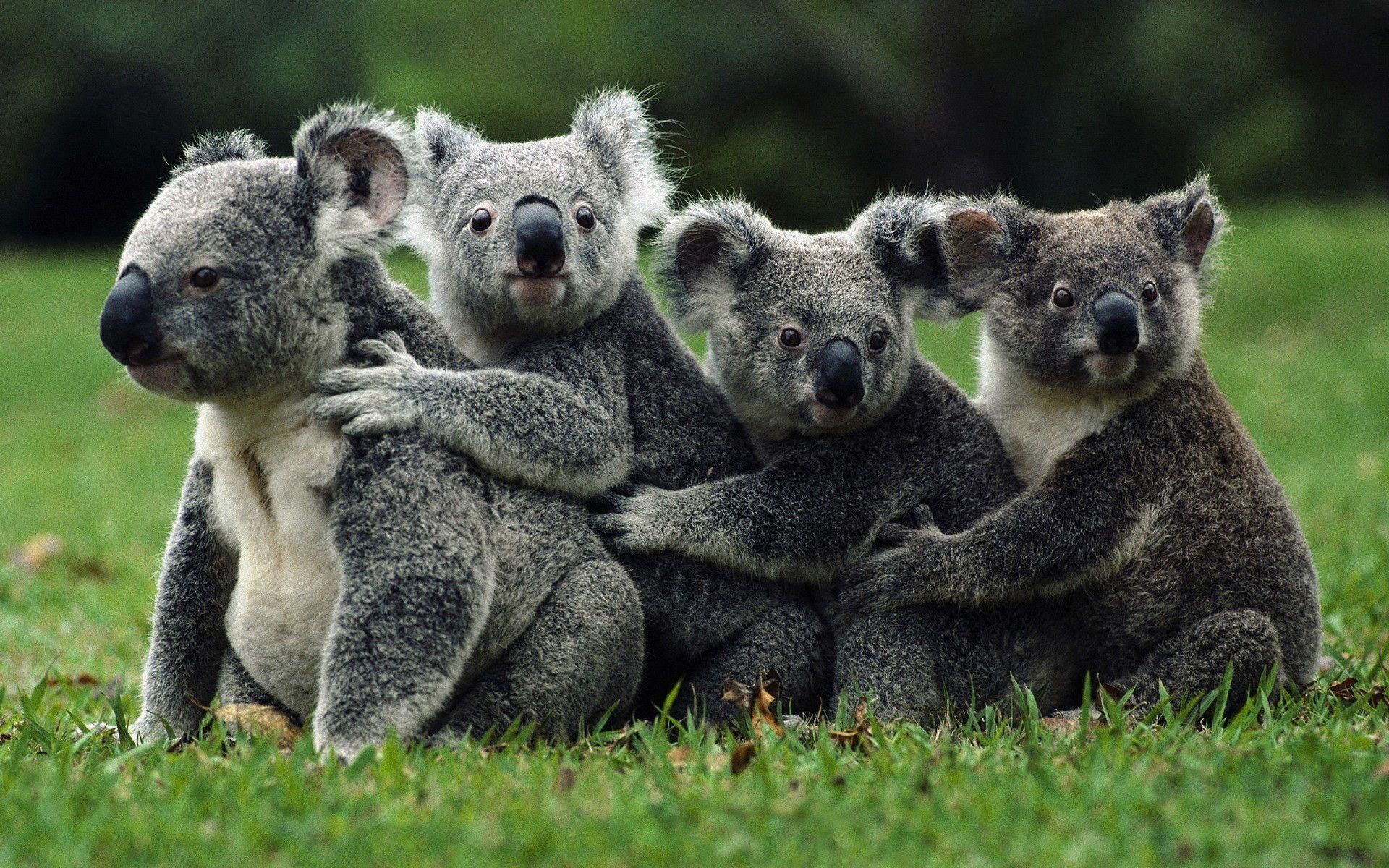 Background Funny Koala Wallpaper