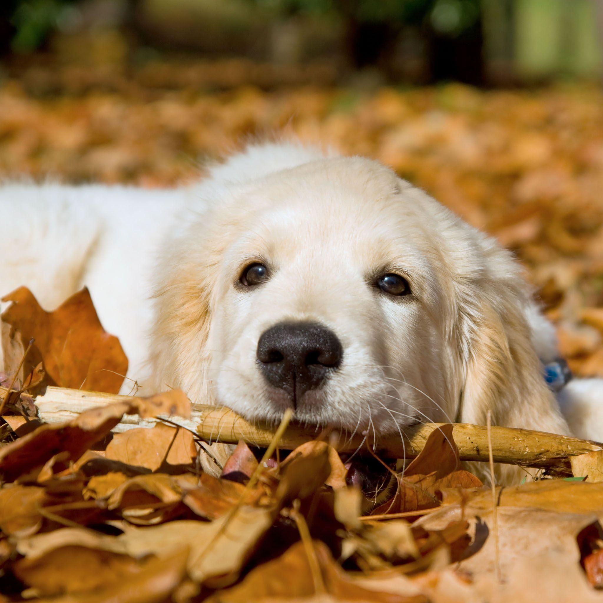 Puppies And Fall Wallpaper Golden Retriever Backgrounds Wallpaper Cave