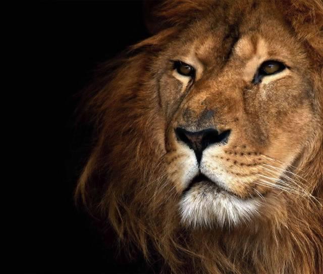 Lion  X Jpg