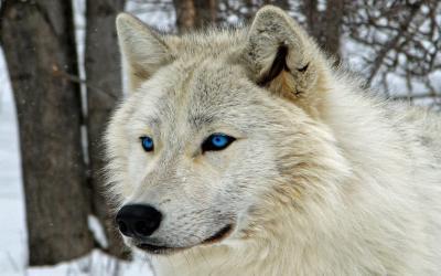 Wallpaper Dark Wolf 4