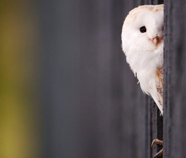 Owl Wallpaper Free