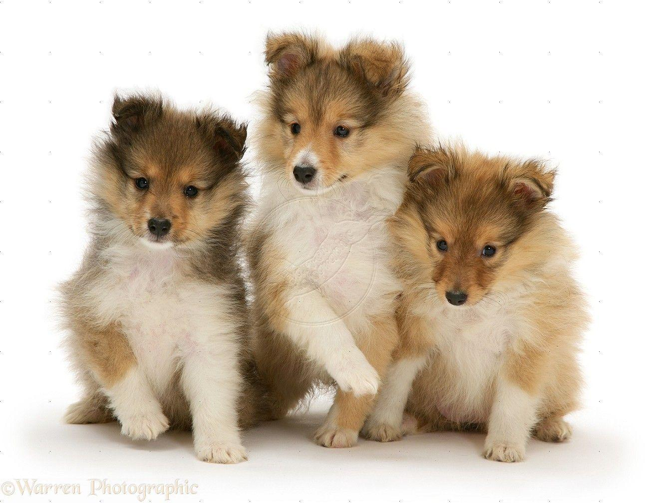 Shetland Sheepdog Wallpapers Wallpaper Cave