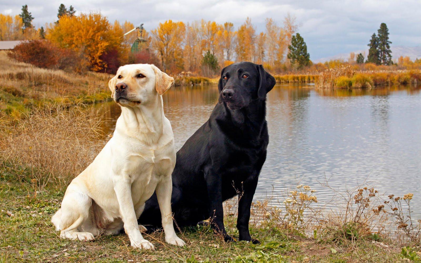Image result for black labrador