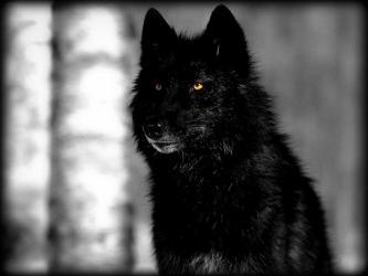 Wallpaper Dark Wolf 1