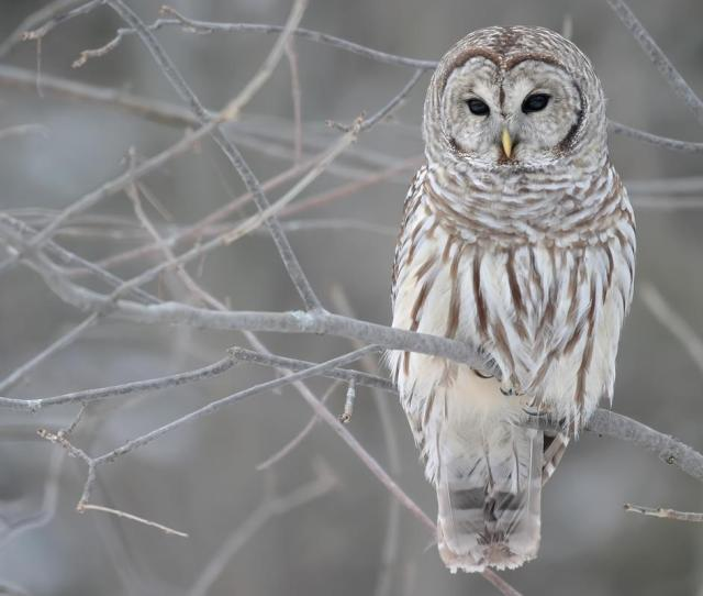 Owl Wallpapers Free  Full Hd Wallpaper Desktop Res X