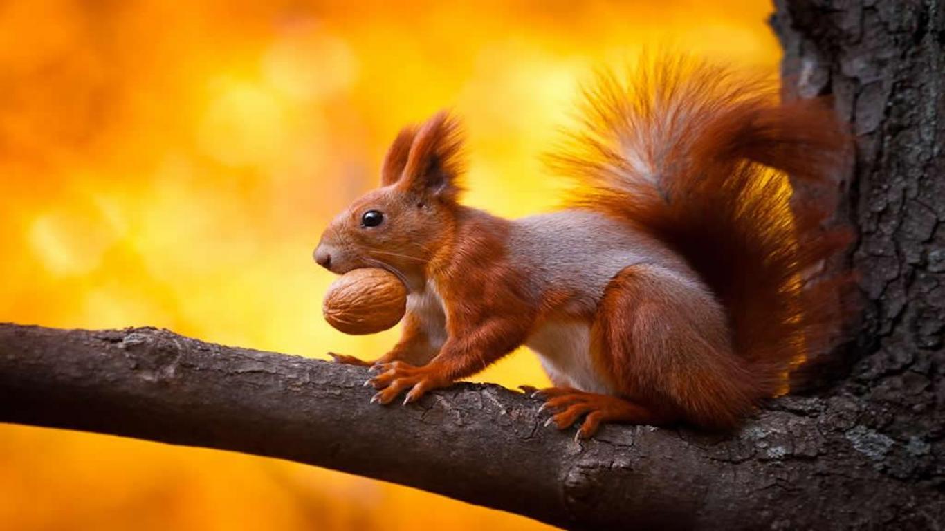 Fall Squirrel Wallpaper Squirrel Wallpapers Wallpaper Cave