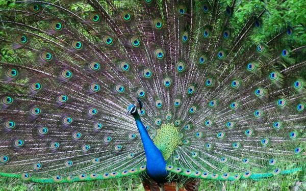 Most Beautiful Peacock