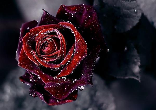 20 Hd Rose Wallpaper Pictures And Ideas On Meta Networks
