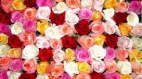 Free Roses Wallpapers - Wallpaper Cave