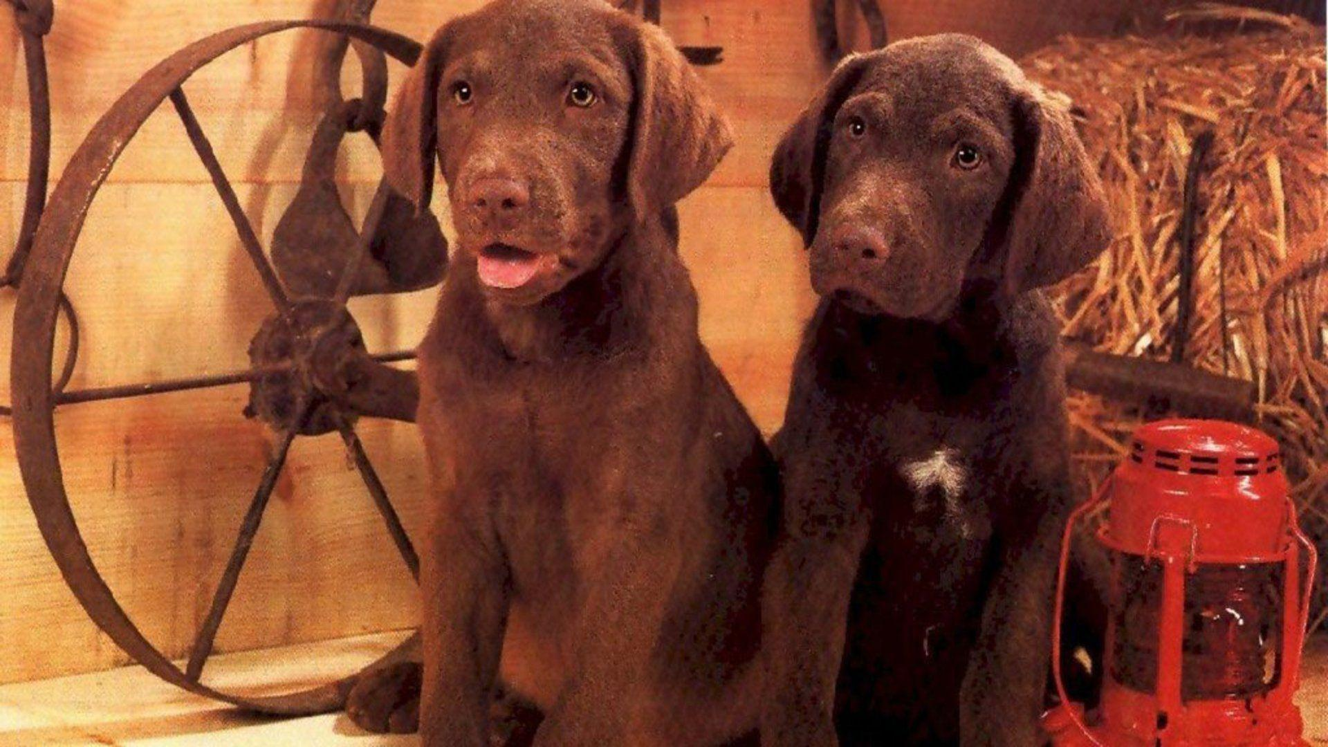 Puppies And Fall Wallpaper Chocolate Lab Wallpapers Wallpaper Cave