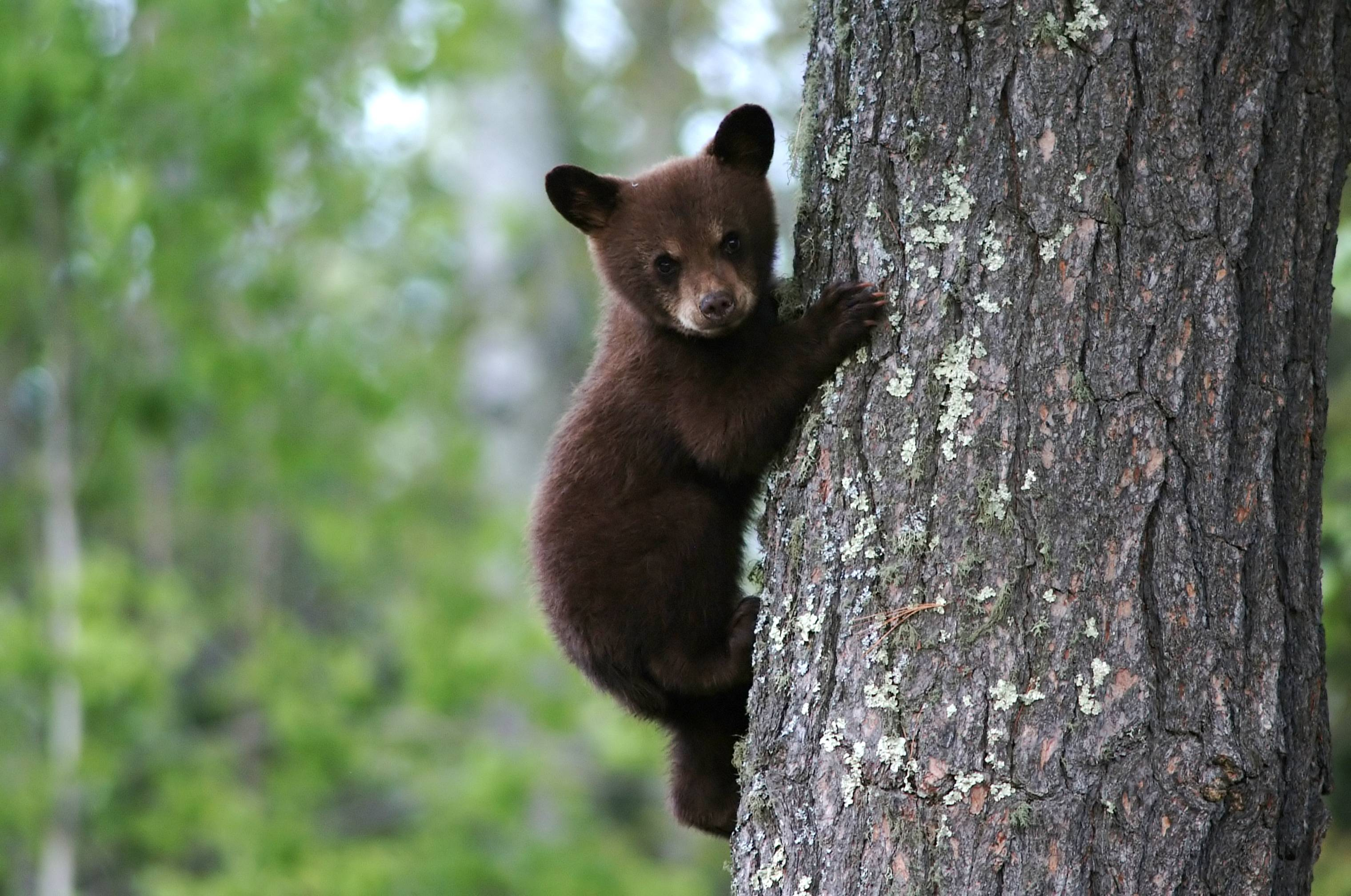 free black bear wallpapers