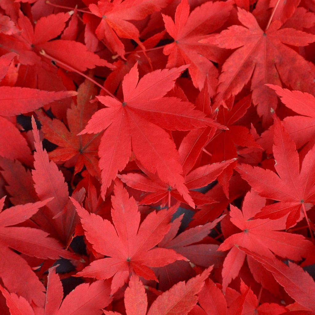 Falling Maple Leaves Wallpaper Red Leaves Wallpapers Wallpaper Cave