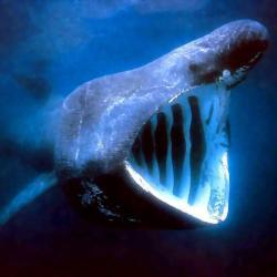 beluga whale wallpapers delphinapterus leucas wallpapersafari wallpapercave