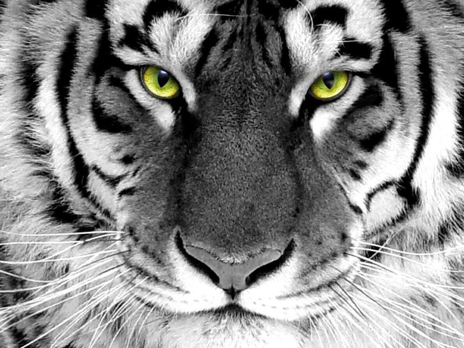 White Tiger Wallpaper Hd 1080p Tiger Hd Wallpapers Wallpaper Cave