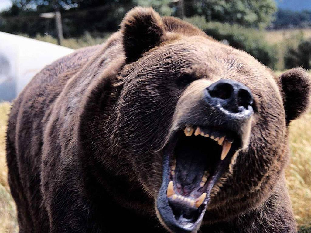 grizzly bear backgrounds wallpaper