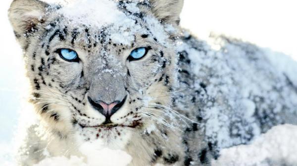 Snow Leopards Animals