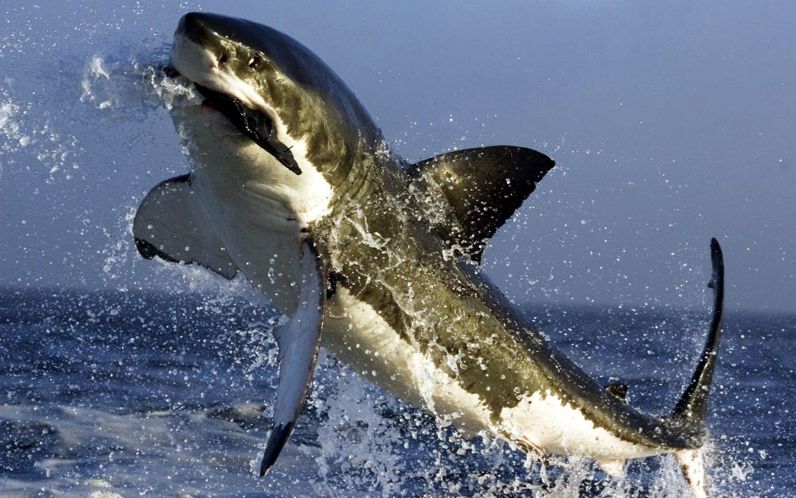 Great White Shark Wallpapers Hd