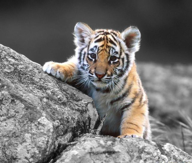 Baby Tiger Wallpapers Full Hd Wallpaper Search