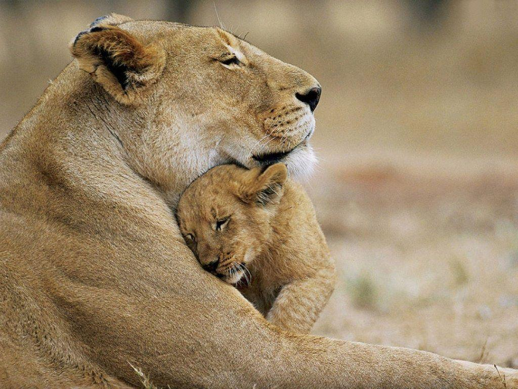 Lion Cubs Wallpapers