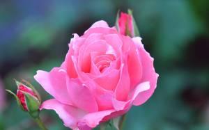 rose flower wallpapers flowers pink desktop