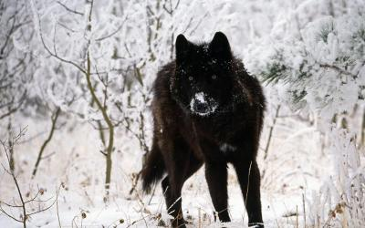 wolf wallpapers wolves dark wolfs alpha snow eyes darkness awesome cave pack yellow